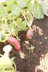 これが池和田さん自慢の、畑の野菜たち。すべて無農薬、夏場の草取りが大変だという。池和田さんは10人のスタッフと一緒に毎日、畑に立つ