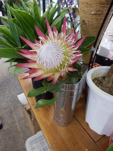 花の王様と称賛される「キングプロテア」。南アフリカ共和国の国花という、貴重な生花。ほかに「ピンクッション」など、日本ではあまり見かけない珍しい花にも出会える。